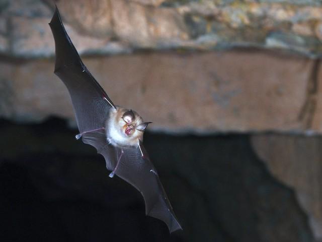 Tiere aus England und Wales: Neues Coronavirus in Fledermäusen entdeckt