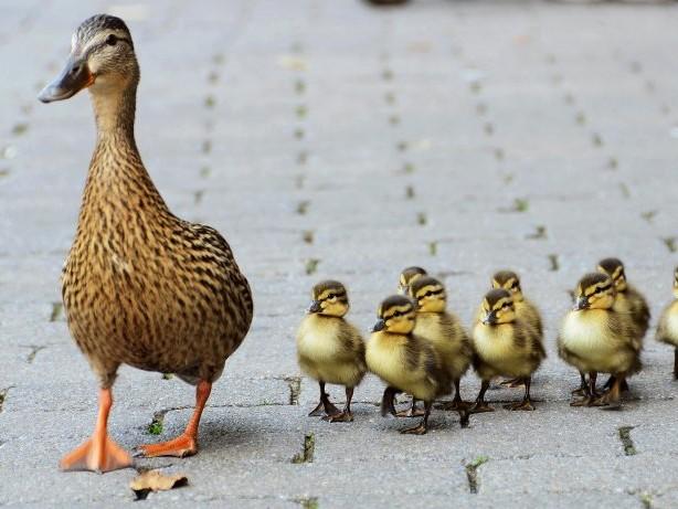 Unfallflucht: Taxifahrer fährt Ente tot: Polizei Bochum sucht Zeugen