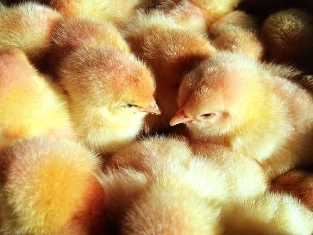 Ostern: Nur wenige Supermärkte bieten Eier ohne Kükentötung