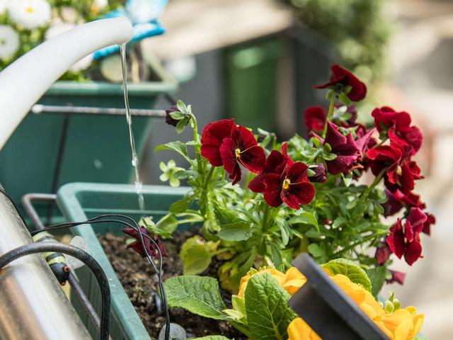 Blumen gießen bei Hitze: Morgens oder abends? Das ist der richtige Zeitpunkt