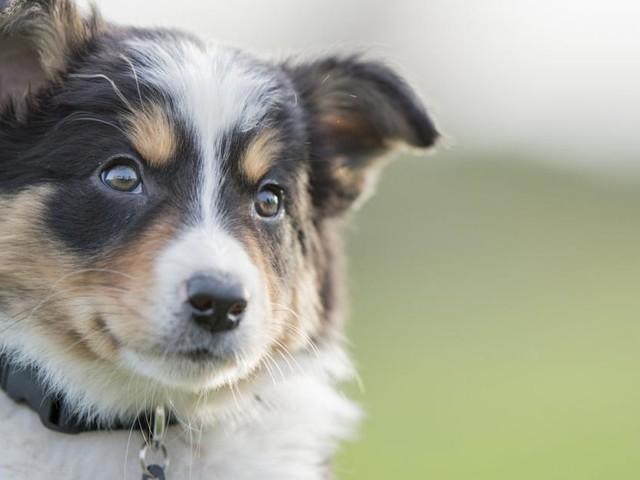 Tiercoach: Wie eine Tollwutimpfung Welpen schützt