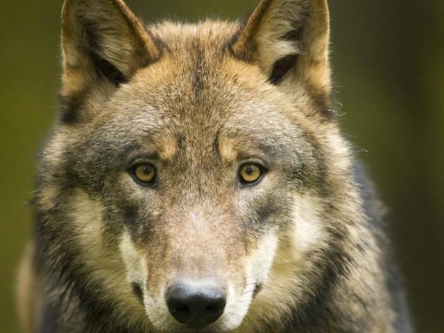 40 Wölfe in Österreich: Kein Herdenschutz zum Start der Almsaison