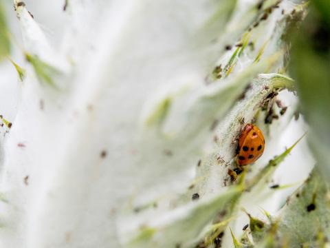 Jeder Hobbygärtner hasst sie: Was Sie gegen Blattläuse im Garten tun können