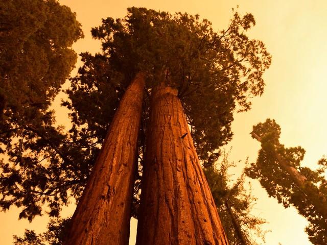 Kalifornien – Schutz vor Waldbränden: Einsatzkräfte versuchen Mammutbäume zu schützen