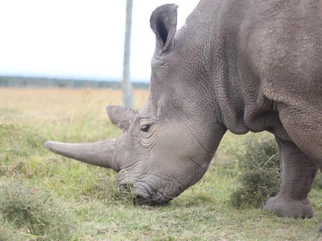 Vom Aussterben bedroht: Forschende melden Erfolge bei der Rettung von seltener Nashorn-Unterart