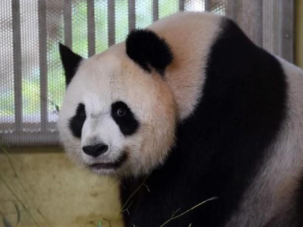 Zoo: Nervosität in Frankreich vor Geburt von Panda-Zwillingen