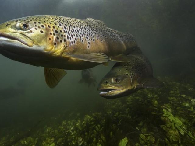 Fischsterben schlägt in Österreichs Flüssen riesige Wellen