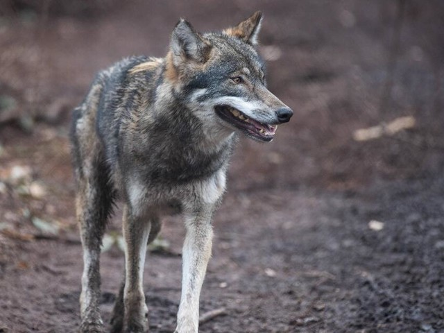 Nördlich von Hannover: Wolf reißt Isländerpony - soll das Tier abgeschossen werden?