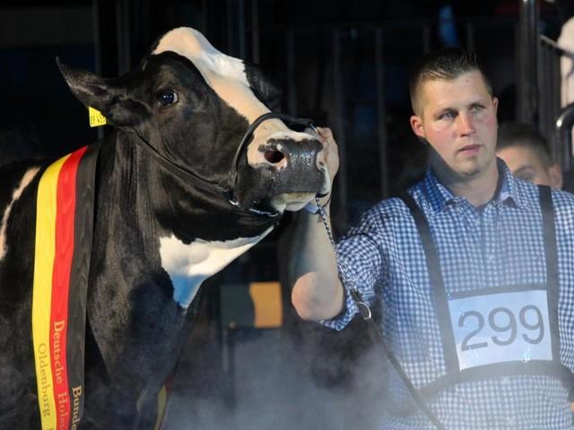 """Hochdekorierte Seriensiegerin: Deutschlands schönste Kuh """"Lady Gaga"""" ist tot"""