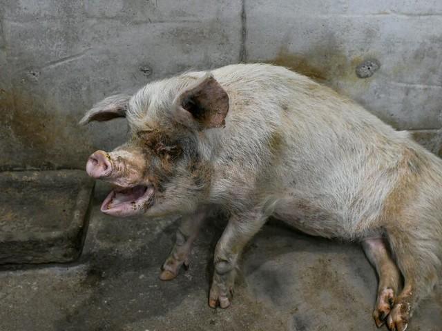 Erdbeben 36 Tage überlebt: Schwein Zhu Jianqiang gestorben
