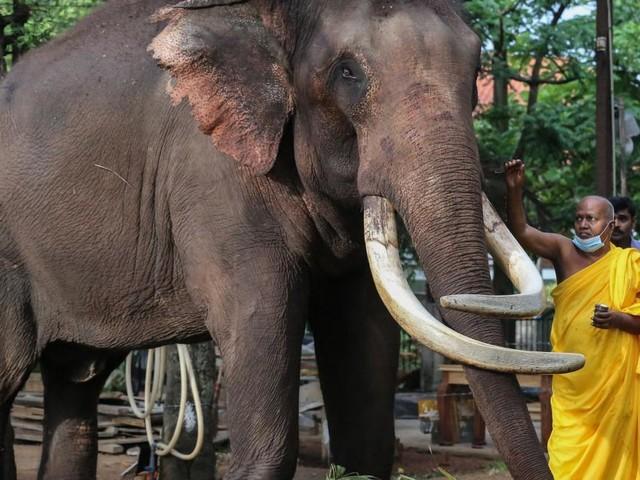 """Sri Lanka will """"Kurzarbeit"""" für Arbeitselefanten"""