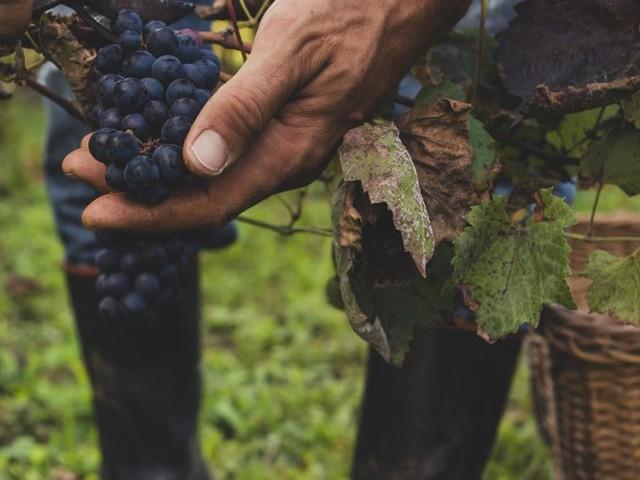 Nach turbulentem Jahr beginnt die Weinlese
