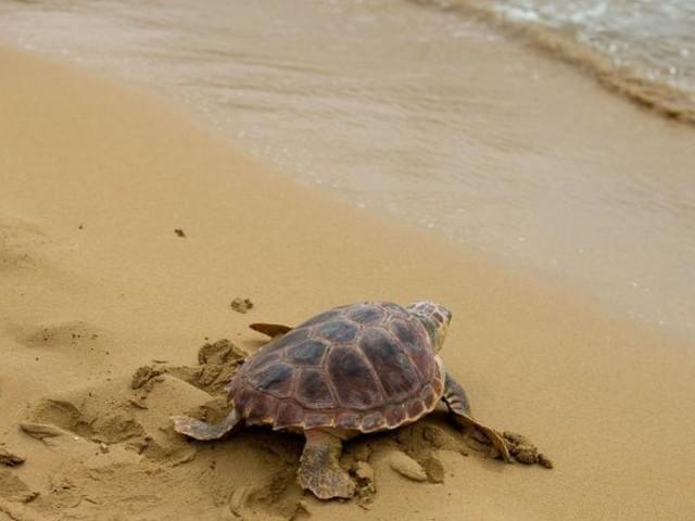 Studie: Plastikmüll als Falle für junge Meeresschildkröten