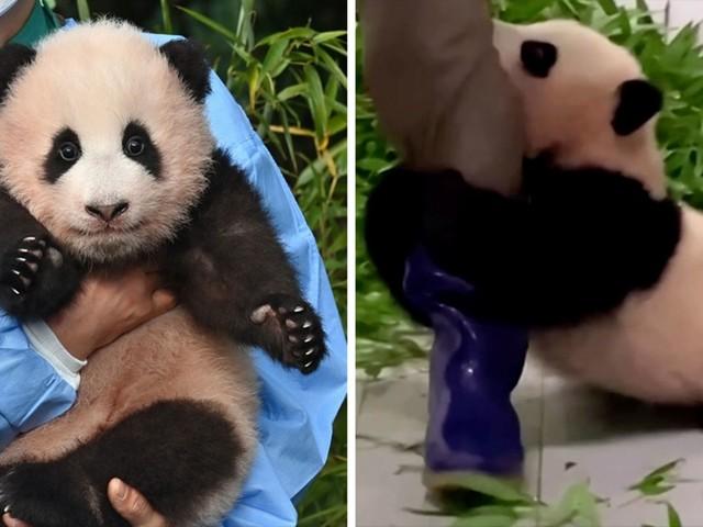 Südkorea: Sehr anhänglich: Kleiner Riesenpanda erobert die Herzen im Sturm