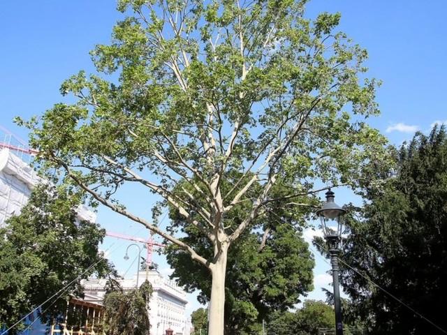Mein Freund, der (Stadt-)Baum: Was Rettungsaktionen bringen