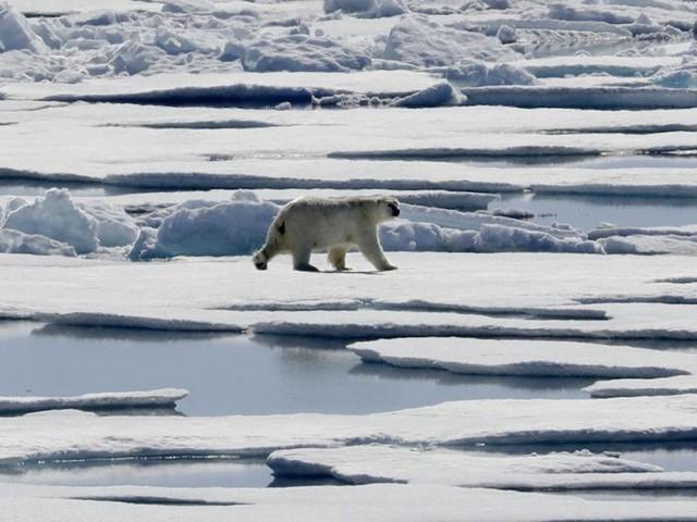 Eis zu dünn für Robbenjagd: Hungrige Eisbären nähern sich Dorf am Nordpolarmeer