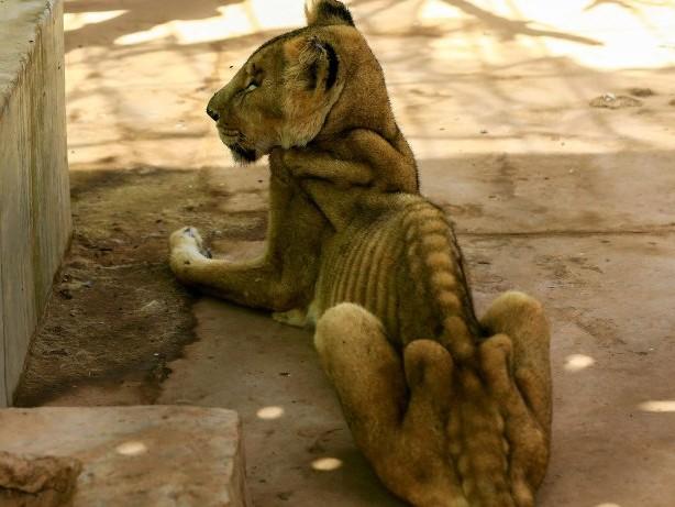 Tierleid: Ausgemergelt und krank – Löwenleid in sudanesischem Zoo