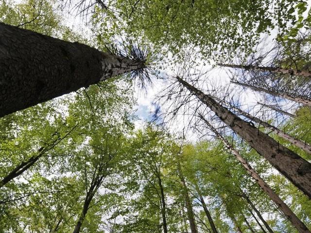 Wiener Forscher können geschwächte Bäume aus der Luft erkennen