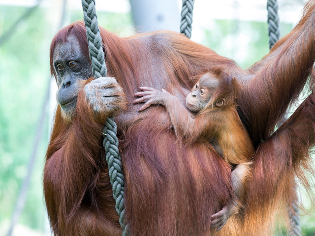 Welt-Orang-Utan-Tag 2017 in Hellabrunn: Tierpark mit Aktionstag am 19. August