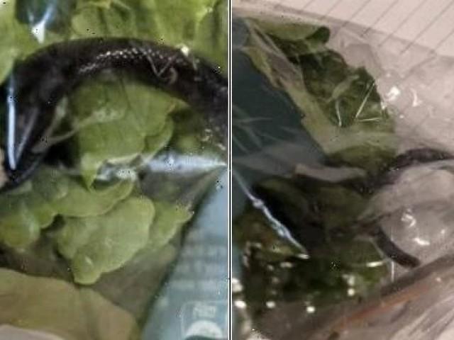 Bub fand giftige Schlange in verpacktem Supermarkt-Salat
