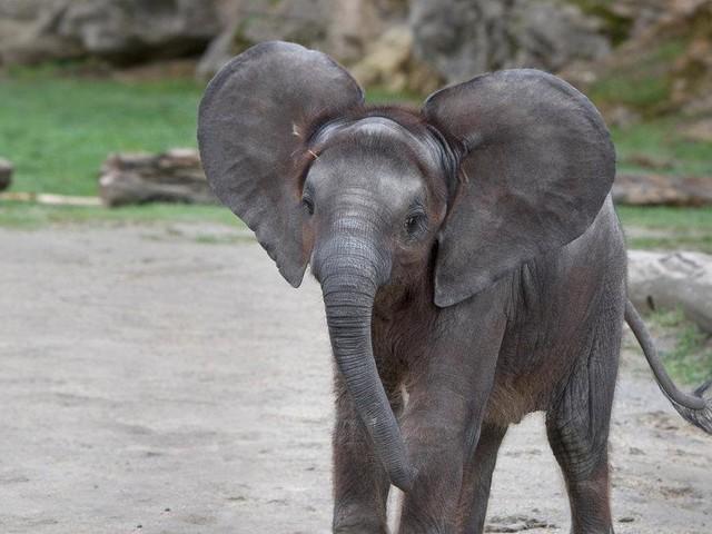 Ungewöhnliche Kommunikation: Elefanten quietschen mit den Lippen