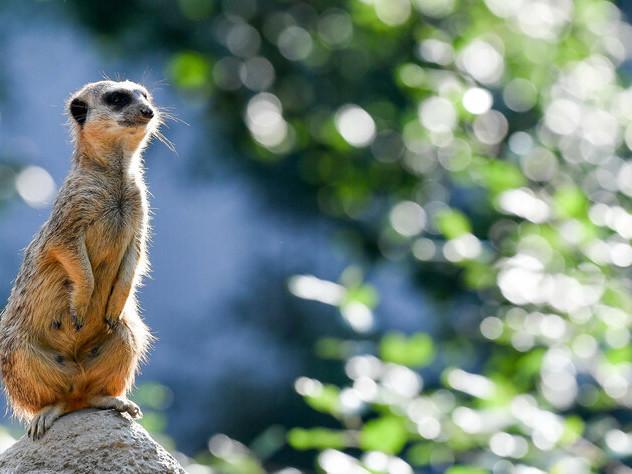 Berlins Zoo öffnet jetzt auch abends: Da schauen die Erdmännchen