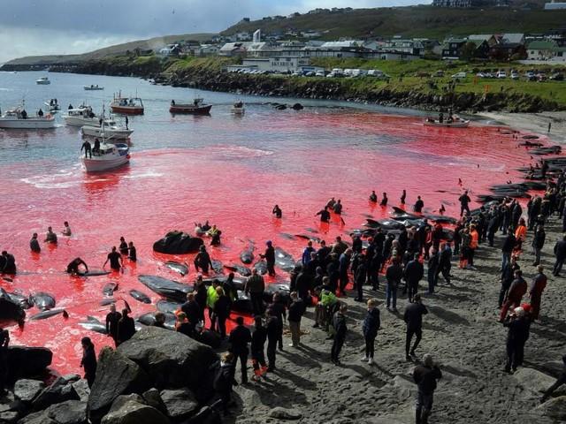 Das blutige Walschlachten auf den Färöer-Inseln