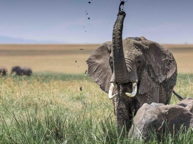 Elefantenrüssel als Mega-Staubsauger der Natur