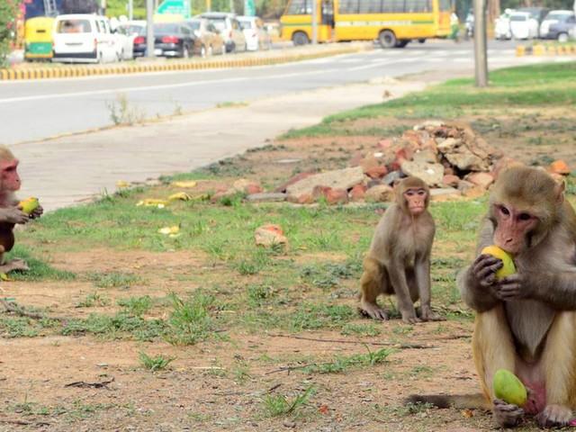 Primaten auf Raubzug: Affen überfallen indisches Labor und lassen Corona-Bluttests mitgehen