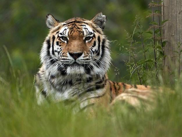 Vorfall im Zoo Zürich: Tiger tötet 55 Jahre alte Tierpflegerin