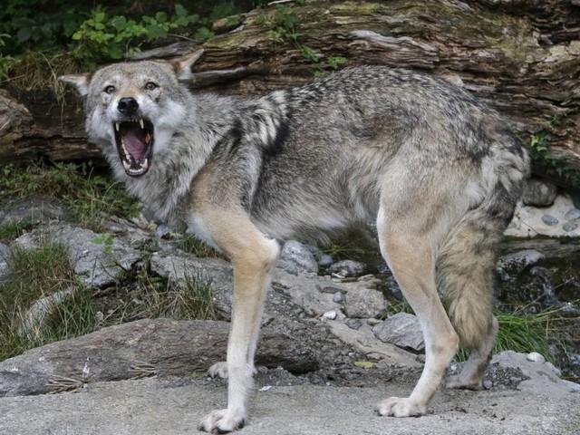 Vom Almleben im Schatten des Problemwolfs
