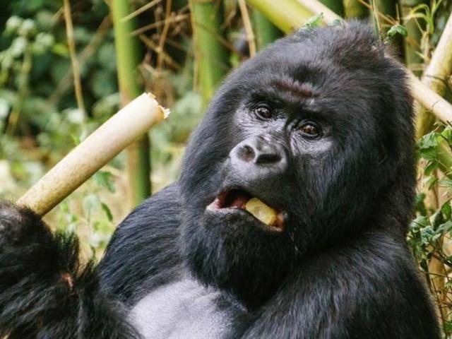 Menschenaffen inAfrika droht Verlust des Lebensraums