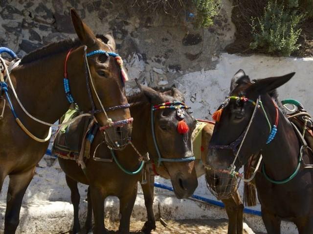 Santorin: Dicke Touristen dürfen keine Esel reiten