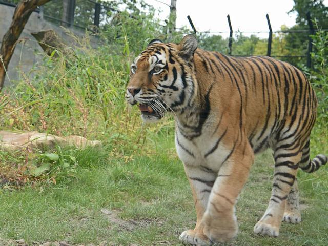 Allwetterzoo Münster: Neue Tiger- und Leoparden-Anlage jetzt geöffnet