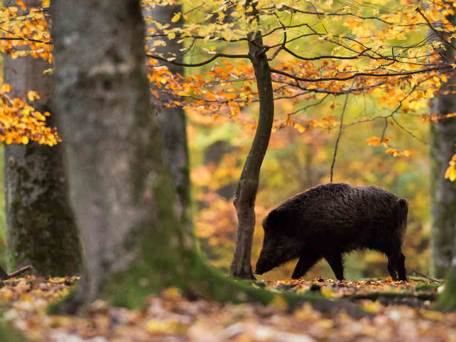 Infiziertes Tier: Wildschwein nahe deutsch-polnischer Grenze an Schweinepest gestorben