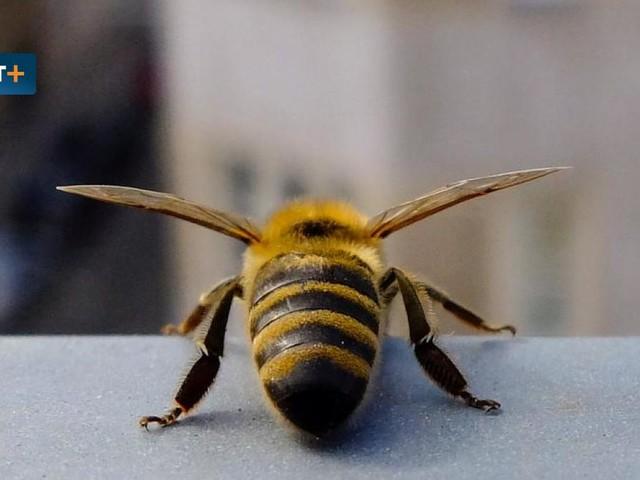 Die übertriebene Liebe zur Honigbiene