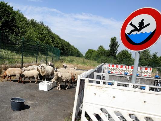 Bild des Tages: Schafe statt Rasenmäher.