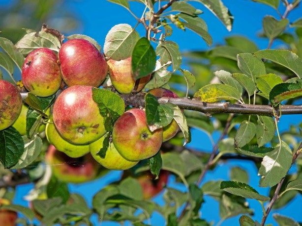 Klimaschutz: Gevelsberg: Kostenlose Obstbäume für alle – so klappt's