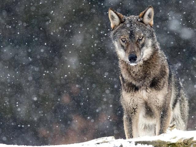 Brandenburg: Jäger tötet Wolf – Polizei befragt Zeugen