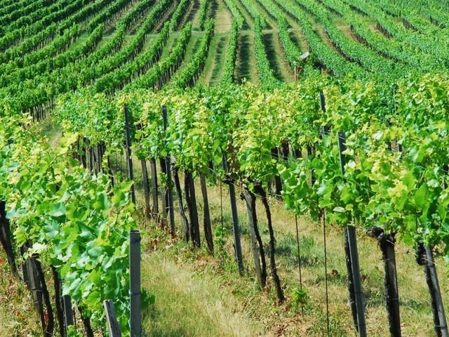 Image-Kick für Wein aus Niederösterreich