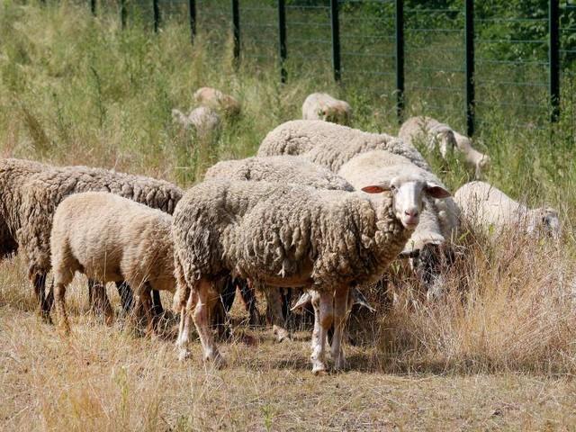 Pilotprojekt: Schafe als Rasenmäher an Ruhrgebietsautobahn