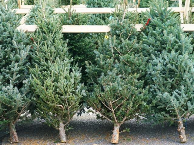 Tanne und Fichte im Preisvergleich: Wie viel kosten Weihnachtsbäume in diesem Jahr?