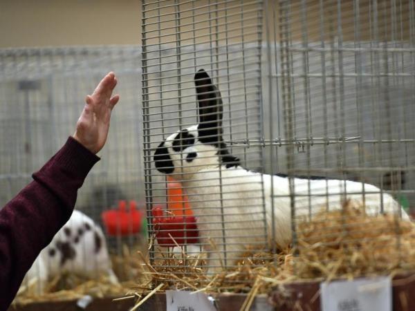 Die schönsten Kaninchen: Deutsche Meister bei Schau gekürt