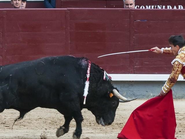 Stier spießt Torero auf – Notoperation nötig