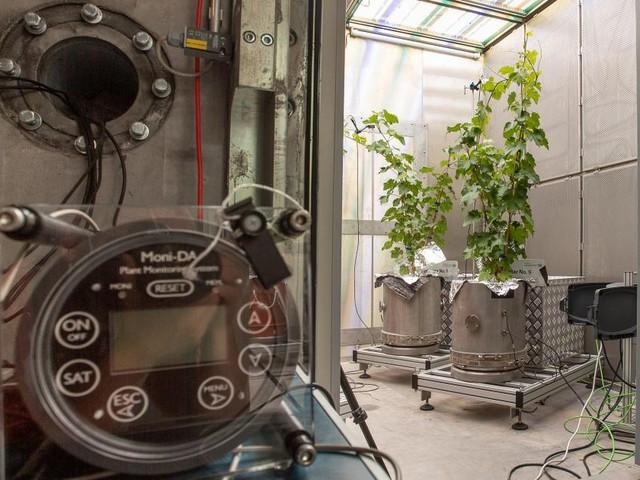 Was treiben diese beiden Weinstöcke in der Klimakammer?