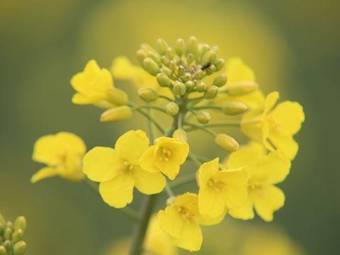 Pflanzen warten auf Regen: Rapsblüte beginnt