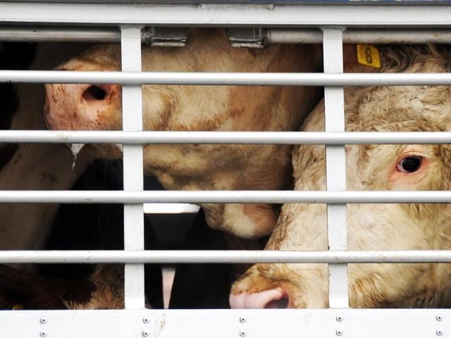 Tiertransporte: Das Geschäft mit leidenden Lebewesen boomt