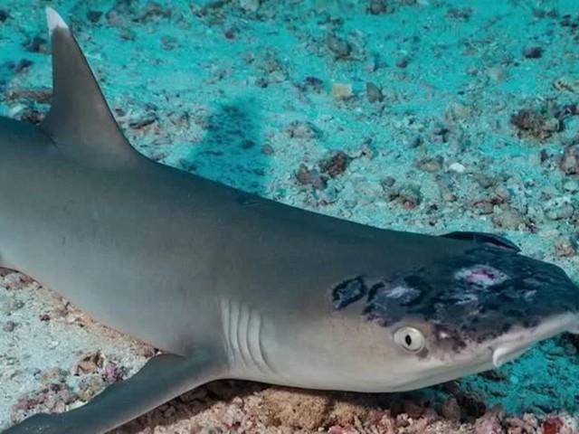 Video: Neue Hautkrankheit bei Riffhaien in Malaysia
