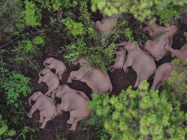 Jetzt trödelt die Elefantentruppe auch noch – weil einer fehlt