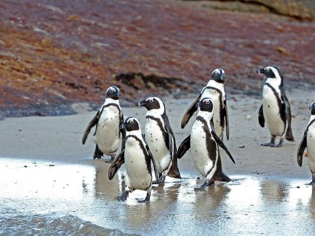 """""""Ein ungewöhnlicher Unfall"""": Bienenschwarm tötet 64 gefährdete Pinguine"""